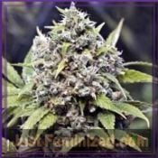 Female Seeds Auto AK Buy Cheap at Just Feminized Online
